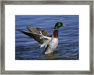 Flapping At Dusk Framed Print