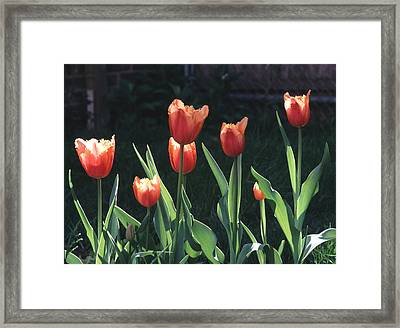 Framed Print featuring the photograph Flared Red Yellow Tulips by Tom Wurl