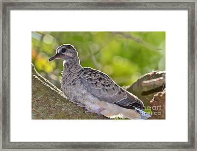Fledgeling In Oak Tree Framed Print by Lynda Dawson-Youngclaus