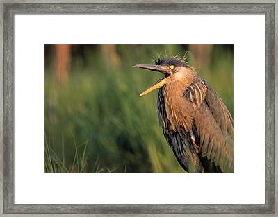 Fledgling Great Blue Heron Framed Print by Natural Selection Bill Byrne