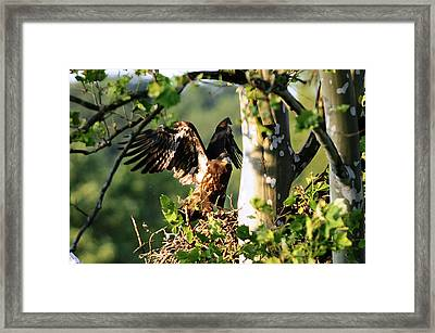 Framed Print featuring the photograph Fledgling Testing The Wind by Randall Branham