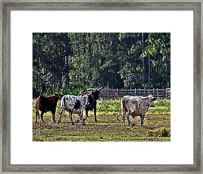 Fleeing Cows Of 441 Framed Print by Lou Belcher