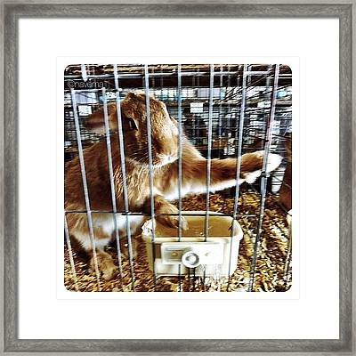 Flemish Giant Junior Buck Framed Print