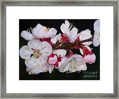 Fleurs D'abricotier Framed Print