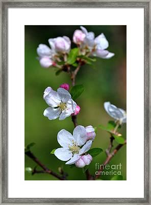 Fleurs De Pommier Framed Print by Sylvie Leandre