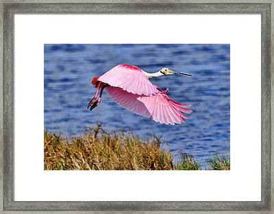 Flight A Roseate Spoonbill Framed Print