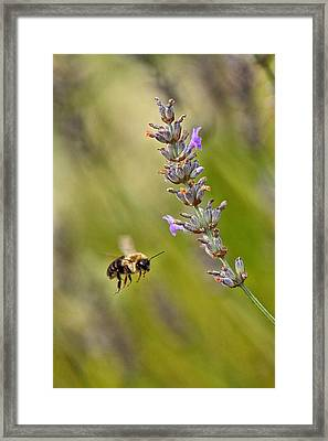 Flight Of The Bumble Framed Print by Karol Livote
