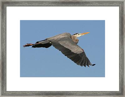 Framed Print featuring the photograph Flight Of The Great Blue Heron by Myrna Bradshaw