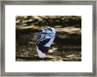 Flight Of The Tweener Framed Print by Phil Lanoue
