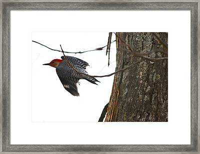 Framed Print featuring the photograph Flight Of The Woodpecker by Brian Stevens