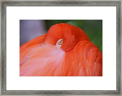Framed Print featuring the photograph Flirty Flamingo by Myrna Bradshaw