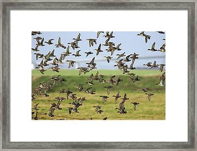 Flock Of Common Teal Framed Print