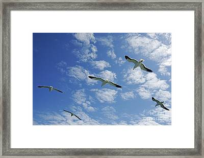 Flock Of Five Seagulls Flying In The Sky Framed Print by Sami Sarkis