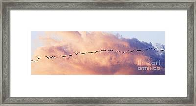Flock Of Geese At Sunset Framed Print by Larry Ricker