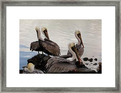 Flock Of Pelicans Framed Print by Keith Kapple