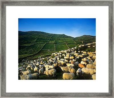 Flock Of Sheep In A Field, Maam Cross Framed Print