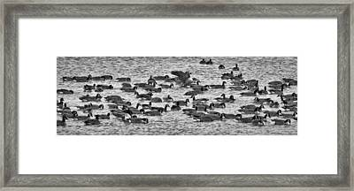 Framed Print featuring the photograph Flockin' Around by Kevin Munro