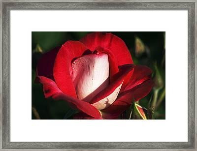Floribunda Rose (rosa 'molly Mcgredy') Framed Print by Georgette Douwma