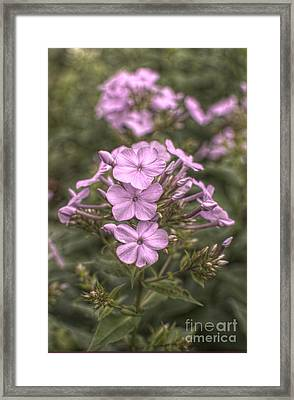 Florid Phlox Framed Print by The Stone Age