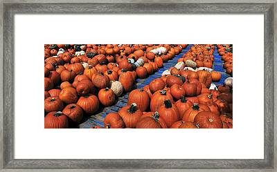 Florida Gator Pumpkins Framed Print by David Lee Thompson