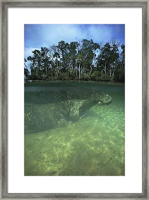 Florida Manatee, Crystal River, Florida Framed Print by Joe Stancampiano
