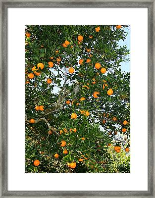Florida Oranges Framed Print by Carol Groenen
