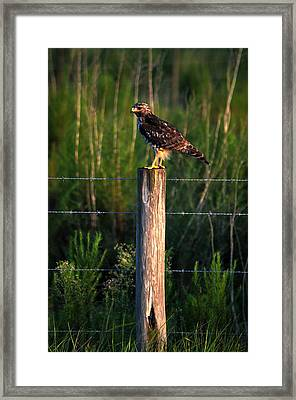 Florida Red-shouldered Hawk Framed Print by Ronald T Williams