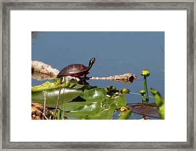 Florida Redbelly Turtle Framed Print by Peg Urban