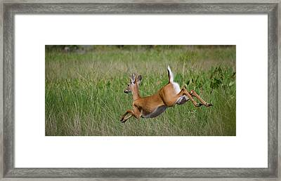 Florida White Tail Framed Print