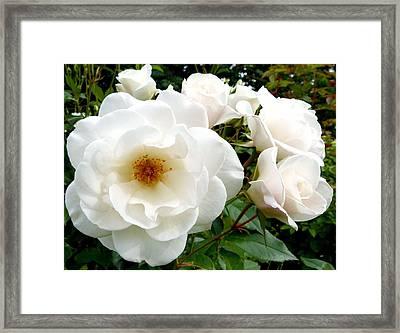 Flourishing Iceberg Roses Framed Print by Will Borden