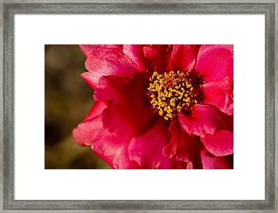 Flower Carpet Rose Framed Print by Rob Hemphill