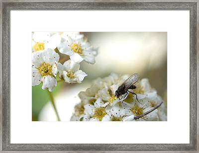 Flower Fly Framed Print by Michael Wilcox
