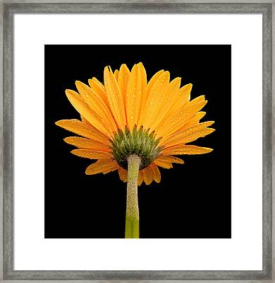 Dewy Daisy From Behind Framed Print