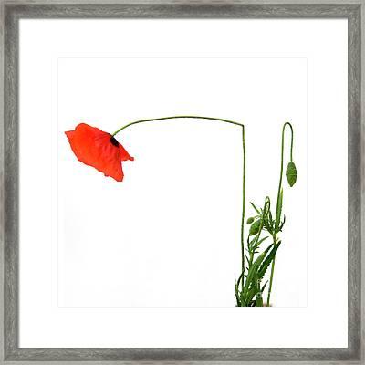 Flower Poppy In Studio. Papaver Rhoeas. Framed Print by Bernard Jaubert
