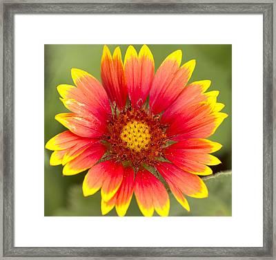 Flower Power Framed Print by Daphne Sampson