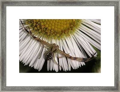 Flower Spider On Fleabane Framed Print by Daniel Reed