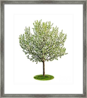 Flowering Apple Tree Framed Print