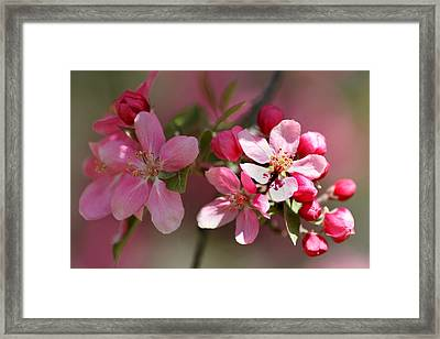 Flowering Crabapple Detail Framed Print by Mark J Seefeldt