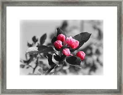 Flowering Crabtree In Select Color Framed Print by Mark J Seefeldt