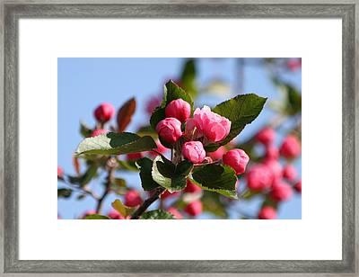 Flowering Crabtree Framed Print by Mark J Seefeldt