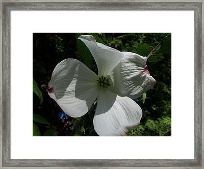 Flowering Dogwood Framed Print