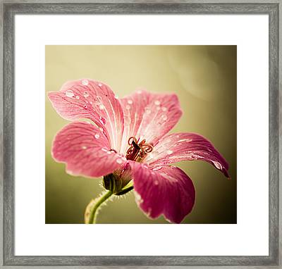 Flowering Geranium With Rain Drops Framed Print