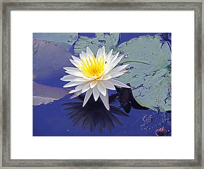 Flowering Lily-pad- St Marks Fl Framed Print