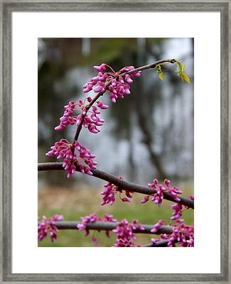 Framed Print featuring the photograph Flowering Tree 1 by Gerald Strine