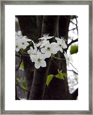 Framed Print featuring the photograph Flowering Tree 4 by Gerald Strine