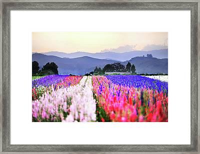 Flowers Tulips In Rows In Fields Framed Print