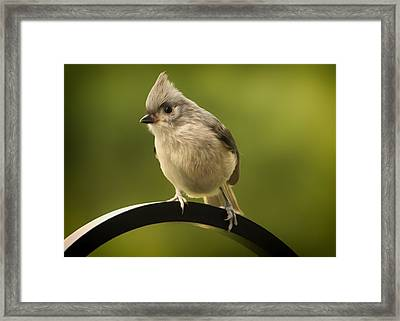 Flowing Tufted Titmouse Framed Print by Bill Tiepelman