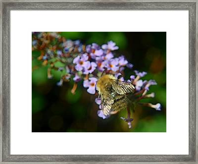 Fluffy Bumble Bee Framed Print