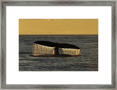 Flukes Of A North Atlantic Right Whale Framed Print