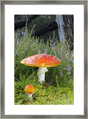 Fly Agaric (amanita Muscaria) Mushrooms Framed Print by Duncan Shaw